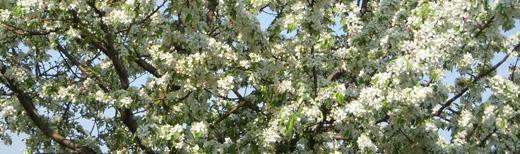 whitefruittreei04.jpg